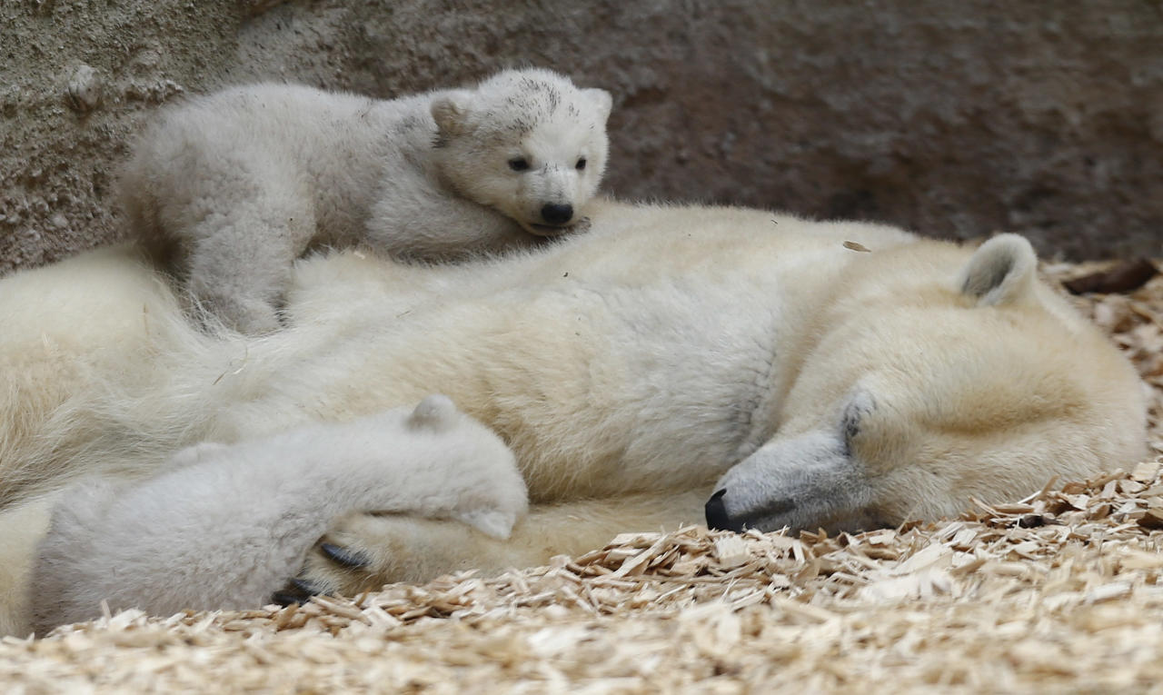 Twin polar bear lie on their mother Giovanna outside in their enclosure at Tierpark Hellabrunn in Munich