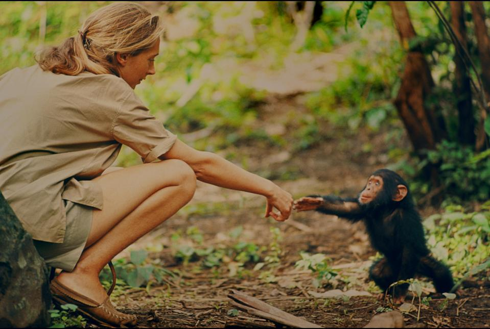 Jane Goodall and infant chimpanzee Flint reach out to touch each other's hands. Flint was the first infant born at Gombe after Jane arrived. With him she had a great opportunity to study chimp development and to have physical contact, which is no longer deemed appropriate with chimps in the wild. The feature documentary <i>Jane</i> is available on NationalGeographic.com. (Photo: National Geographic Creative/Hugo van Lawick)
