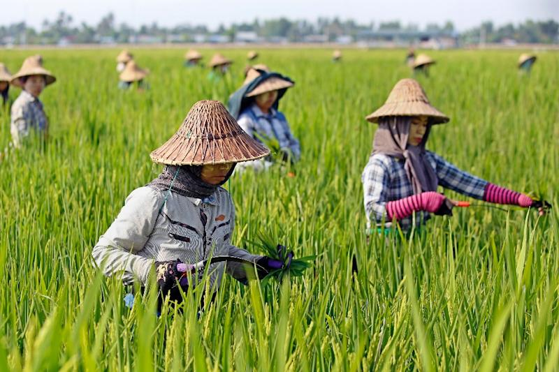 Farm workers tend to rice in a plantation in Myanmar, one of the countries that consumes the most rice and could be at risk for devastating effects from global warming