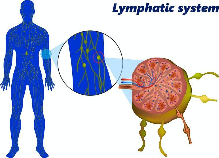 Location of lymph nodes on the human body