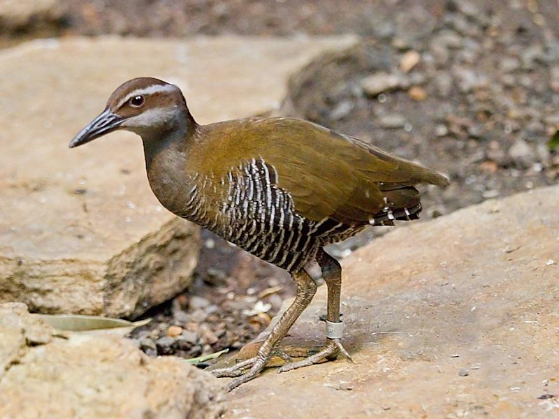 The Guam rail was believed to have gone extinct in 1987, but the species has been rediscovered on a separate island and has made a modest comeback after conservation efforts: Greg Hume