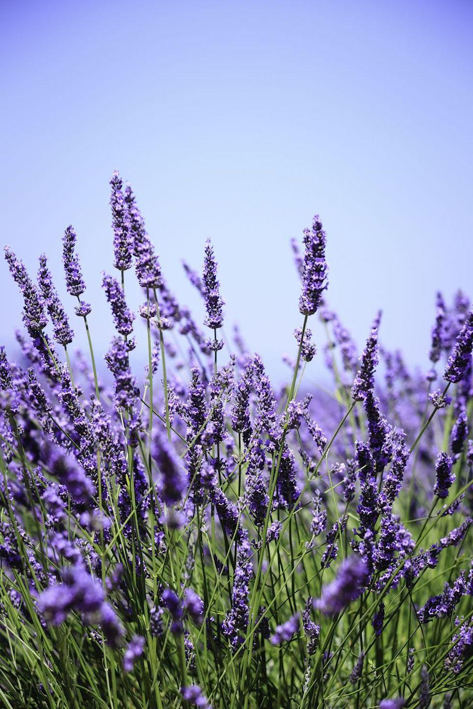 """<p>From their wonderful scent to their beautiful purple hue, a bouquet of lavender is a message of devotion. It also has calming aromatherapy properties, so a bouquet of lavender may make an excellent gift for a student or anyone in your life who needs some relaxation.</p><p><strong>RELATED: </strong><a href=""""https://www.goodhousekeeping.com/home/gardening/a20705663/how-to-grow-lavender/"""" rel=""""nofollow noopener"""" target=""""_blank"""" data-ylk=""""slk:How to Grow Lavender Anywhere — Even Indoors"""" class=""""link rapid-noclick-resp"""">How to Grow Lavender Anywhere — Even Indoors </a></p>"""