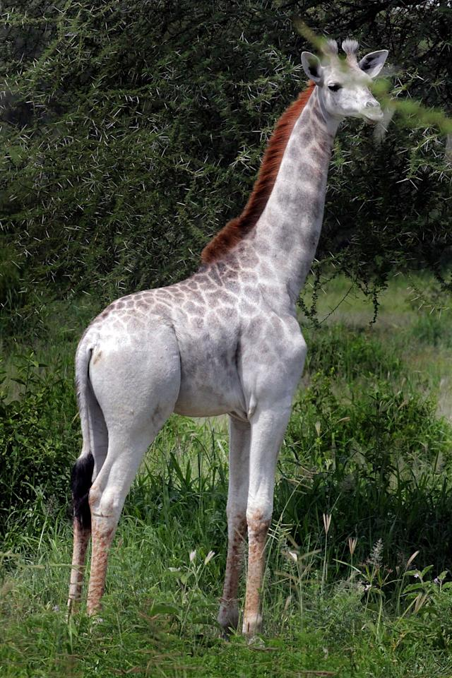 <p>A white giraffe. (Photo: Derek Lee/Caters News) </p>
