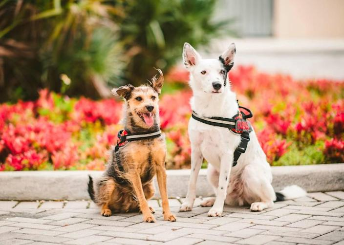 Mac, left, and Hubble are two dogs that are trained to sniff out COVID-19 at Florida International University.