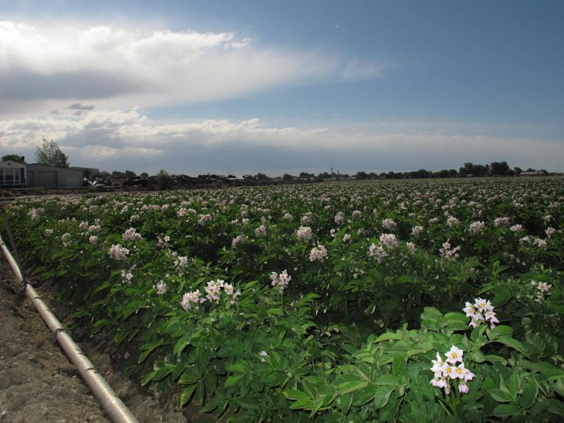 A field of flowering Ranger russet potato plants is pictured near Wilder, Idaho, on Wednesday, June 12, 2013. In a lawsuit moved to Idaho federal court this week, a U.S. wholesale grocery cooperative has sued the United Potato Growers of America, alleging the group's members in 15 states are illegally fixing prices and driving up costs. (AP Photo/John Miller)