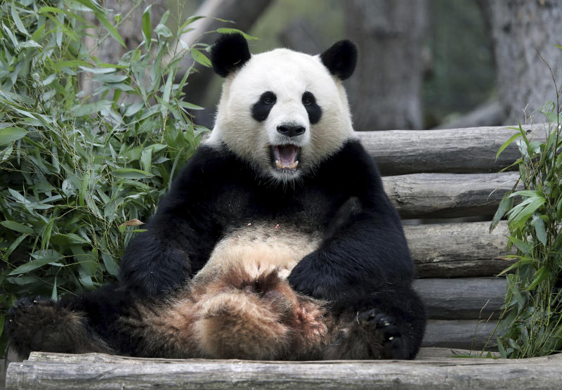 Male panda Jiao Qing sits in its enclosure at the Zoo in Berlin, Germany, Friday, April 5, 2019. (AP Photo/Michael Sohn)