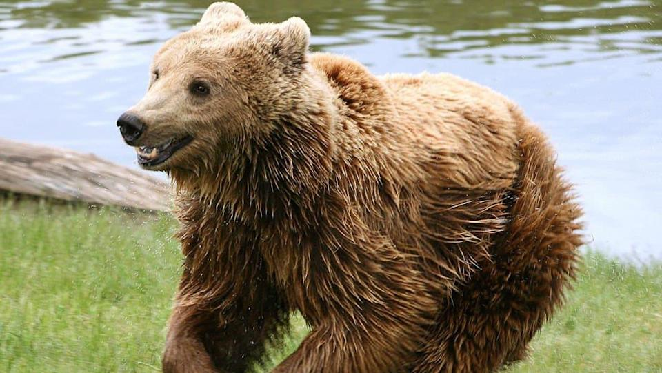 Un ours brun. (Photo d'illustration) - Wikimedia Commons