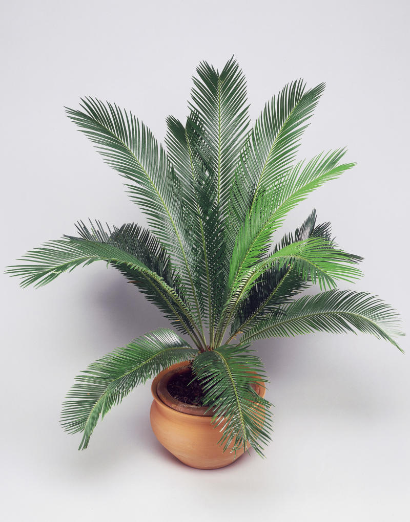 Sago Palms are considered one of the most toxic plants for dogs and other household pets. (Getty Images)