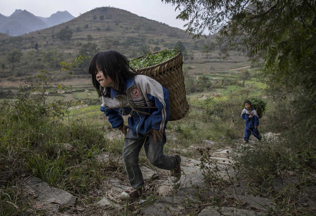 <p>Luo Hongni, left, 11, and brother Luo Gan,10, carry flowers to be used as feed while doing chores in the fields on Dec. 18, 2016 in Anshun, China. (Photo: Kevin Frayer/Getty Images) </p>