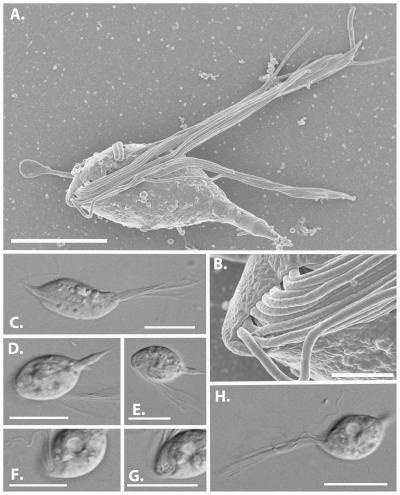 This image shows the morphology of Cthulhu macrofasciculumque.