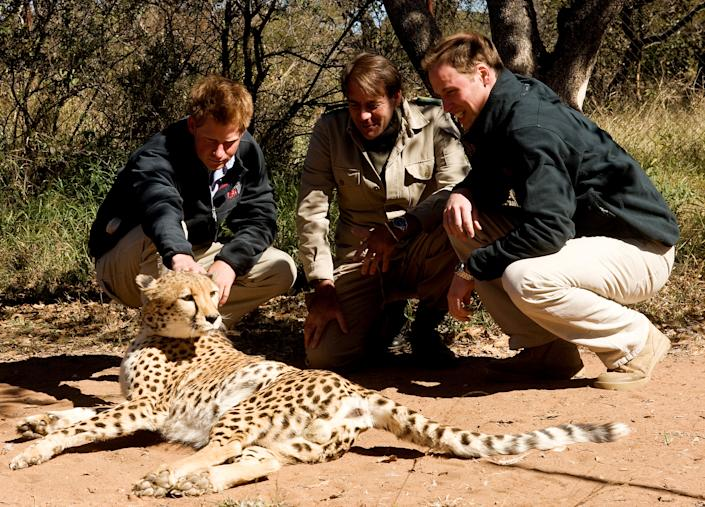 GABORONE - JUNE 15: Prince William and Prince Harry meet a cheetah when they visit Mokolodi Education Centre on June 15, 2010 in Gaborone, Botswana.  The Princes are on a joint trip to Southern Africa and will visit projects supported by their respective charities Tusk Trust (Prince William) and Sentebale (Prince Harry).   (Photo by Samir Hussein/WireImage)