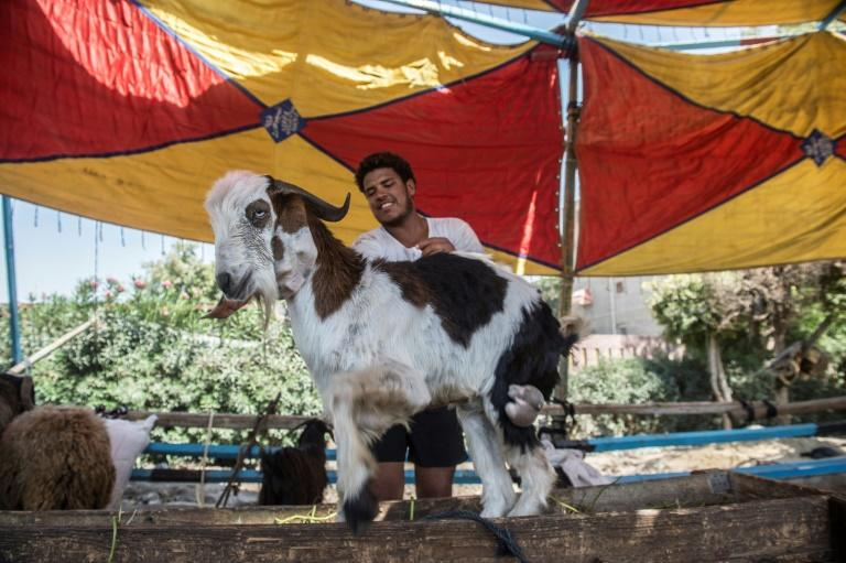 An Egyptian vendor plays with a goat as he waits for customers at a market in Cairo ahead of the annual Muslim Eid al-Adha holiday