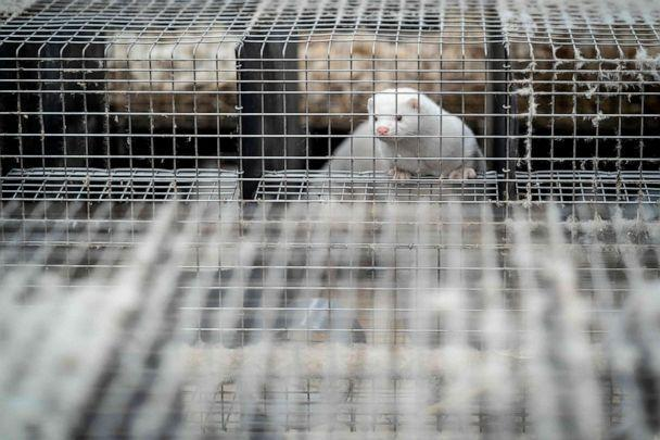 PHOTO: A mink looks out from its cage at a farm, Nov. 6, 2020. (Mads Claus Rasmussen/Ritzau Scanpix/AFP via Getty Images, FILE)