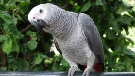 World's largest parrot dwarfs its modern cousins