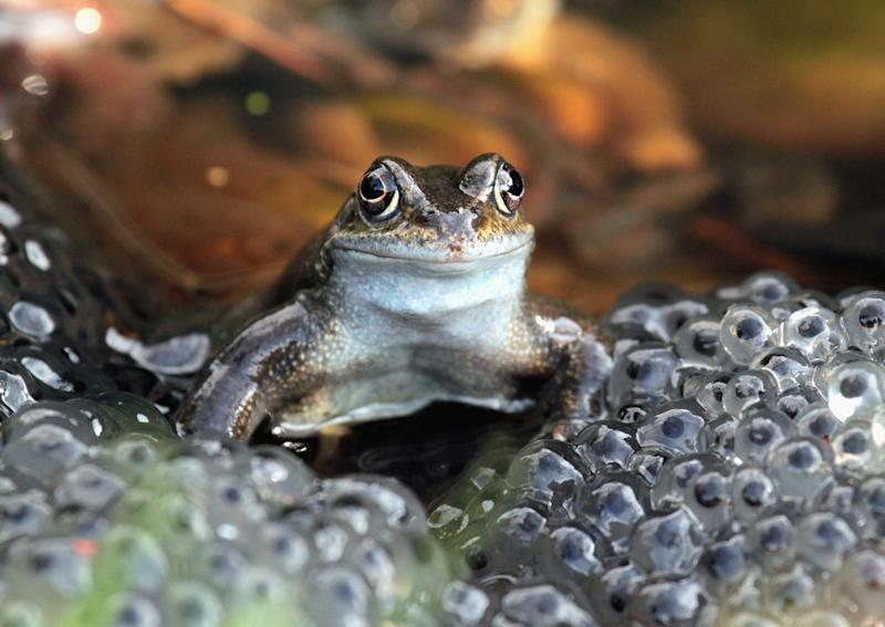 CLOSE UP OF A FROG FACING CAMERA WITH LARGE MASS OF FROG SPAWN IN THE FORE GROUND.