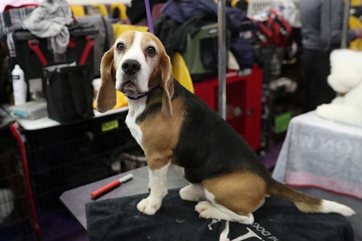Tracer, a beagle breed, sits during the 143rd Westminster Kennel Club Dog Show in New York, Feb. 11, 2019. (Photo: Shannon Stapleton/Reuters)