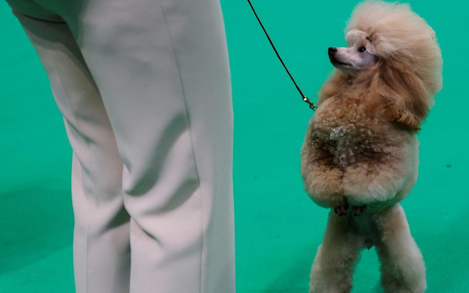 Miniature poodles were found to be aggressive - REUTERS