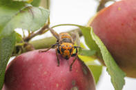 In this Oct. 7, 2020, photo provided by the Washington State Department of Agriculture, a live Asian giant hornet with a tracking device affixed to it sits on an apple in a tree where it was placed, near Blaine, Wash. Washington state officials say they were again unsuccessful at live-tracking an Asian giant hornet while trying to find and destroy a nest of the so-called murder hornets. The Washington State Department of Agriculture said Monday, Oct. 12, 2020, that an entomologist used dental floss to tie a tracking device on a female hornet, only to lose signs of her when she went into the forest. (Karla Salp/Washington State Department of Agriculture via AP)