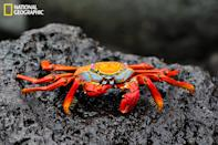"Sally Lightfoot crab, Galápagos Islands, 2011 (Photo and caption Courtesy Fulya Pirim / National Geographic Your Shot) <br> <br> <a href=""http://ngm.nationalgeographic.com/your-shot/weekly-wrapper"" rel=""nofollow noopener"" target=""_blank"" data-ylk=""slk:Click here"" class=""link rapid-noclick-resp"">Click here</a> for more photos from National Geographic Your Shot."