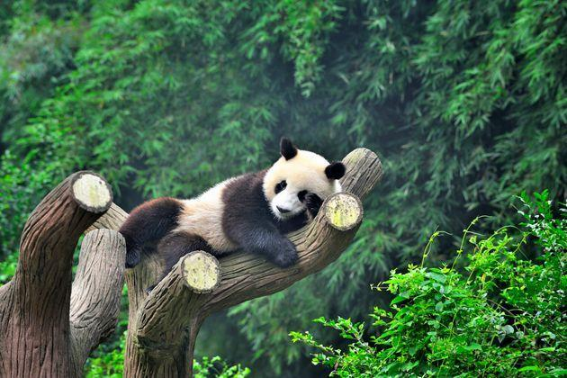 Close-up of one china panda on the tree. (Photo: Comezora via Getty Images)