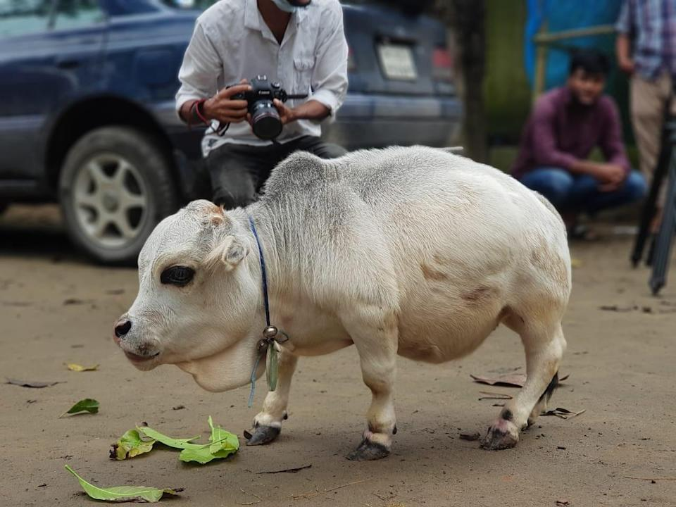 People take pictures of a dwarf cow named Rani at a farm in Bangladesh (Signature Group/SWNS)