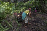 "A woman helps load palm oil fruit into a wheelbarrow, navigating barefoot through the rough jungle floor in Sumatra, Indonesia, Wednesday, Feb. 21, 2018. Women are often ""casual"" workers, hired day to day, with their jobs and pay never guaranteed. Men receive nearly all the full-time permanent positions, harvesting the heavy, spiky fruit bunches and working in processing mills. (AP Photo/Binsar Bakkara)"