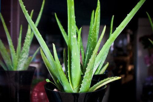 All this plants needs to thrive is to be in sunlight and to be watered occasionally (read: nearly every two weeks). Its spiky leaves pull double duty: they add a graphic touch, and you can cut them open and use the gel to treat cuts and heal burns.  Source: Flickr user garryknight