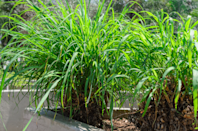 """<p>You're probably most familiar with citronella candles <a href=""""https://www.prevention.com/health/a27507405/do-citronella-plants-repel-mosquitoes/"""" rel=""""nofollow noopener"""" target=""""_blank"""" data-ylk=""""slk:to repel mosquitoes"""" class=""""link rapid-noclick-resp"""">to repel mosquitoes</a>, but the smell comes from a plant called <em>Cymbopogon nardus</em>, which gives off a distinct beach grass vibe. It's the oil from the plant that's actually the repellent, according to the <a href=""""http://npic.orst.edu/factsheets/citronellagen.html"""" rel=""""nofollow noopener"""" target=""""_blank"""" data-ylk=""""slk:National Pesticide Information Center"""" class=""""link rapid-noclick-resp"""">National Pesticide Information Center</a> (NPIC). </p><p>But Pereira says you'd need to have <em>a lot</em> of them to mimic the concentrated effects of burning a citronella candle or torch, so you shouldn't rely on plants alone to <a href=""""https://www.prevention.com/health/g20513318/stop-mosquito-bites/"""" rel=""""nofollow noopener"""" target=""""_blank"""" data-ylk=""""slk:keep mosquitoes away"""" class=""""link rapid-noclick-resp"""">keep mosquitoes away</a>.</p><p>If you just want one citronella plant, though, consider placing it in a pot near an outdoor seating area. """"This plant gives off very little aroma—you can smell it if you crush the leaves—and so would only work if you were sitting right up close to it,"""" says board-certified entomologist Nancy Troyano, Ph.D., director of operations education and training for <a href=""""https://www.jcehrlich.com/"""" rel=""""nofollow noopener"""" target=""""_blank"""" data-ylk=""""slk:Ehrlich Pest Control"""" class=""""link rapid-noclick-resp"""">Ehrlich Pest Control</a>.</p>"""