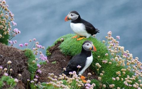 Puffins on Handa Island, Scourie, Sutherland, Scotland - Credit: Angus Alexander Chisholm / Alamy Stock Photo