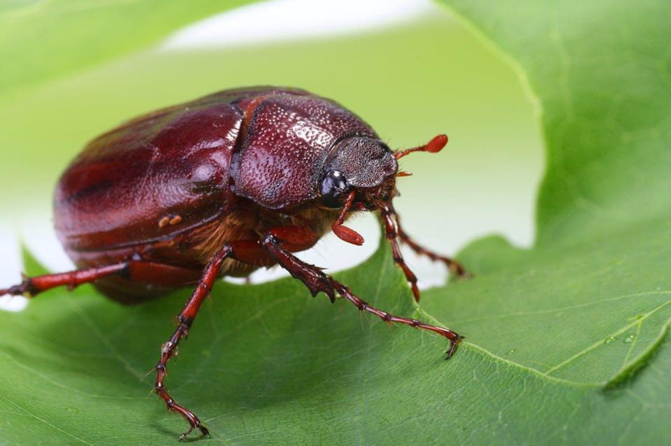 """<span class=""""caption"""">June bugs can be serious pests of ornamental and agricultural plants, lawns and golf courses, or they can be a crunchy snack for a bird — or human.</span> <span class=""""attribution""""><span class=""""source"""">(Shutterstock)</span></span>"""
