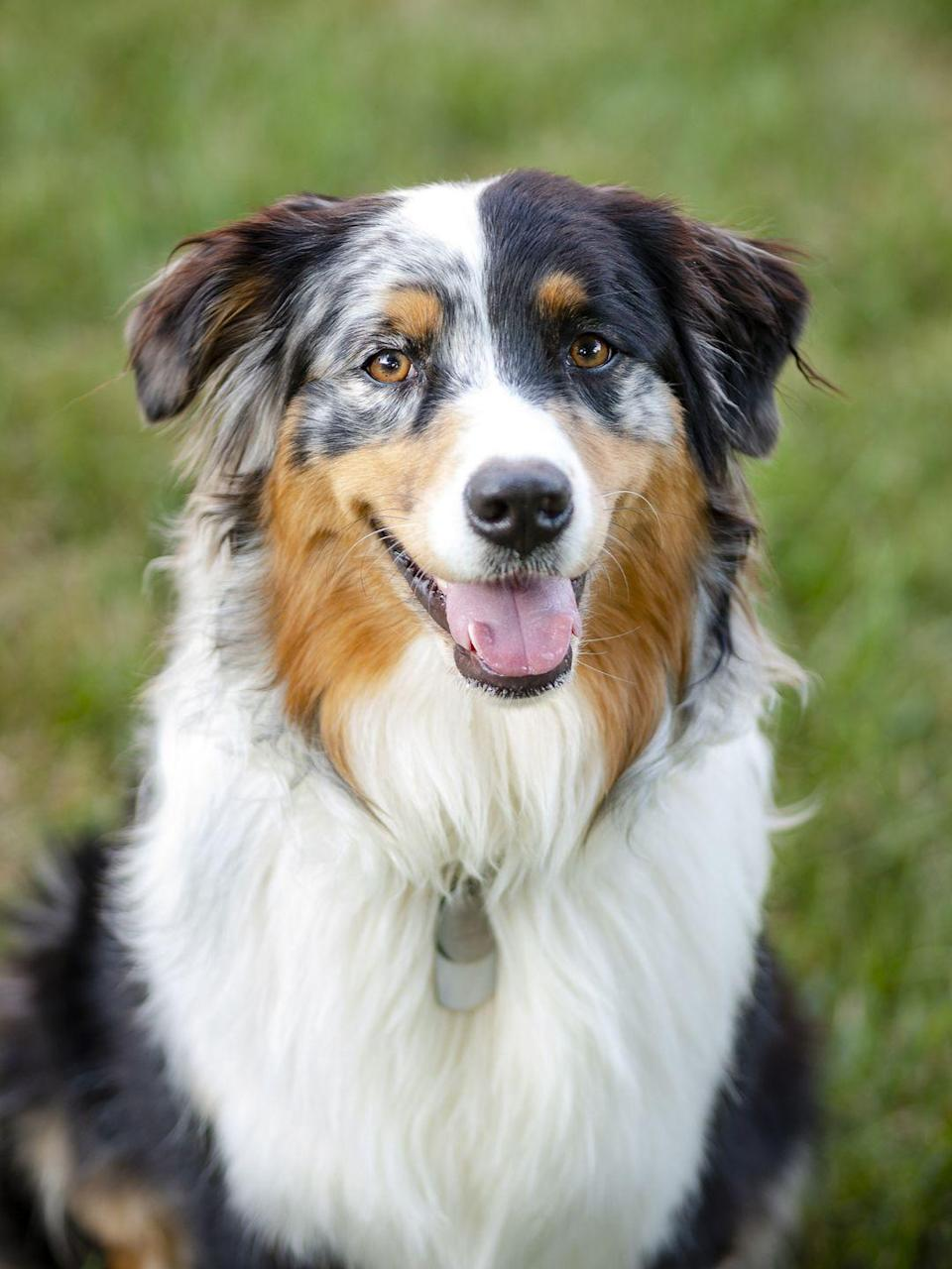 <p>This beautiful breed isn't all looks! They make great guard dogs thanks to their incredible trainability and their tough work dog bloodline. </p>