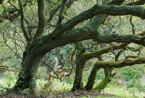 PHOTO: In this undated photo, an Island Oak forest is shown on Santa Rosa Island, Channel Islands National Park, Calif. (Kevin Schafer/Minden Pictures via Newscom)
