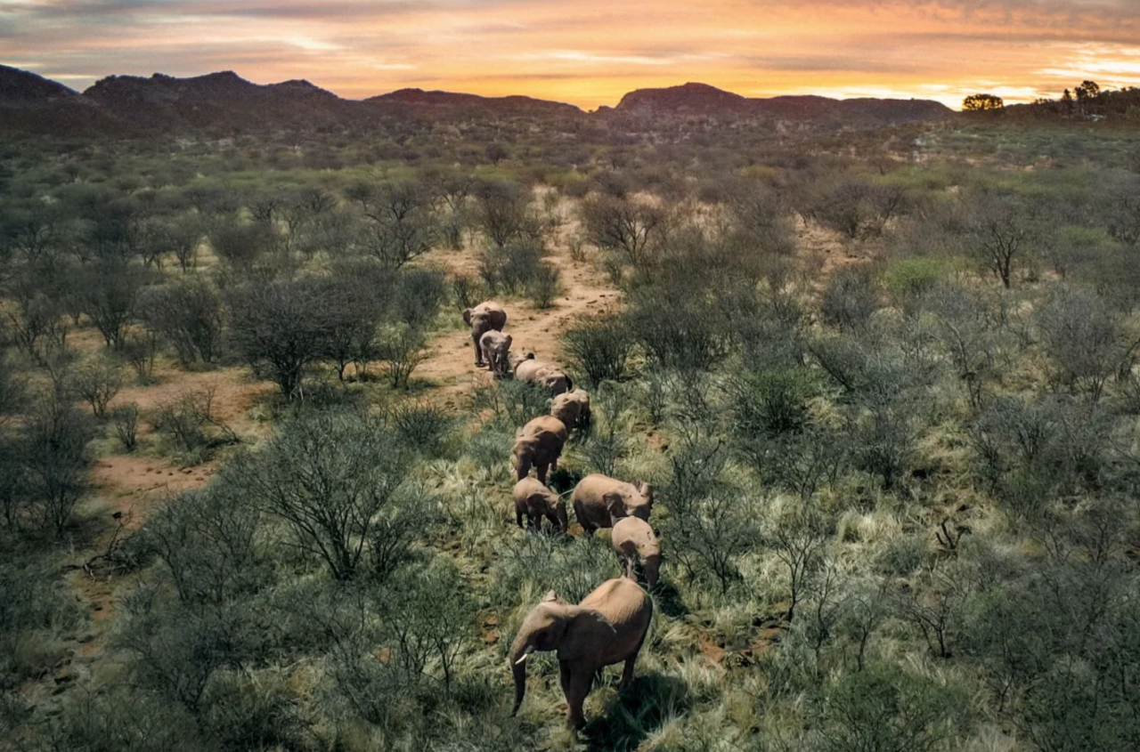 <p>Wild elephants in the Namibian bush. (MikeBish/Dronestagram) </p>