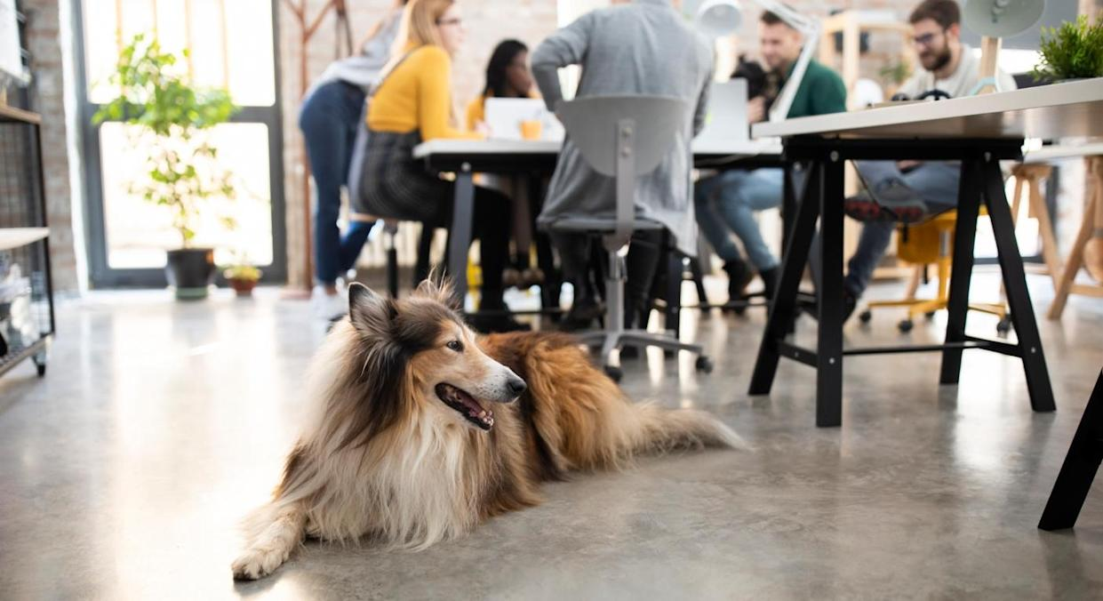 Dogs can create mental health and social benefits in the workplace (Getty)
