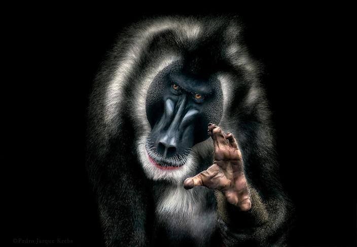 A mandrill holds up its hand to the camera. (Photo: Pedro Jarque Krebs/Caters News)
