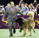 FILE - Dario, a Leonberger, tries to get at the treats in Sam Mammano's pocket during the working group competition at the 140th Westminster Kennel Club dog show at Madison Square Garden in New York, in this Tuesday, Feb. 16, 2016, file photo. Winning wasn't on this big guy's mind when he romped around the ring in the 2016 working group competition. (AP Photo/Seth Wenig, File)