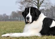 """<div class=""""caption-credit""""> Photo by: Alice van Kempen, Animal Photography</div><b>Newfoundland</b> <br> <p> The ancestors of the loyal <a rel=""""nofollow noopener"""" href=""""http://www.vetstreet.com/dogs/newfoundland?WT.mc_id=cc_yahoo"""" target=""""_blank"""" data-ylk=""""slk:Newfoundland"""" class=""""link rapid-noclick-resp"""">Newfoundland</a>, who hails from an eastern Canadian island, worked on land and at sea - pulling carts, swimming lifelines out to shipwreck victims, rescuing children from deep waters, and helping fishermen to haul in heavy nets. </p> <p> One Newfie named Rigel, who was on the <i>Titanic</i>, swam next to a lifeboat for three hours while looking for his owner. People in the boat were nearly run down by a steamship because the crew couldn't hear their weak cries, but Rigel's barks drew notice, saving everyone onboard. </p> <br>"""