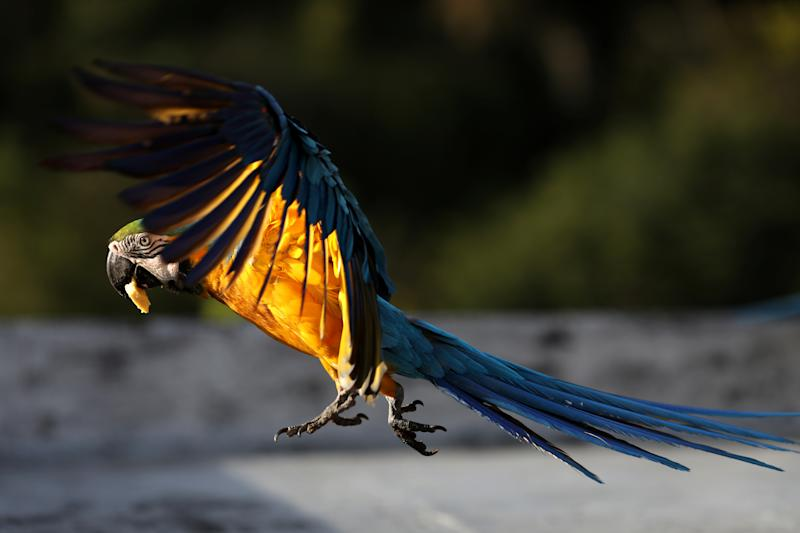 A macaw flies over a rooftop of a building with a piece of banana in its beak in Caracas, Venezuela, June 12, 2019. (Photo: Manaure Quintero/Reuters)