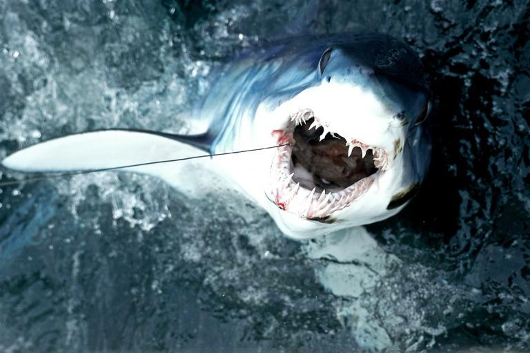 A shortfin mako shark being fished for sport in The United States in 2017 (AFP/Maddie Meyer)