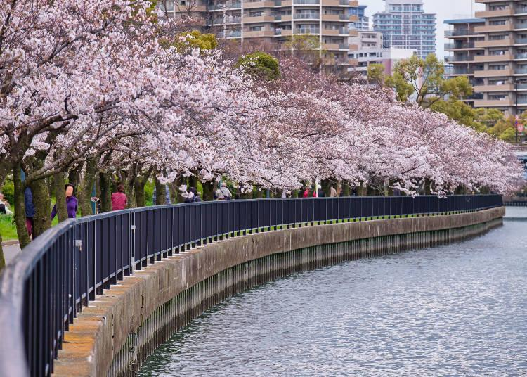 The area that use to handle Osaka's waterworks is now lined with beautiful rows of cherry trees
