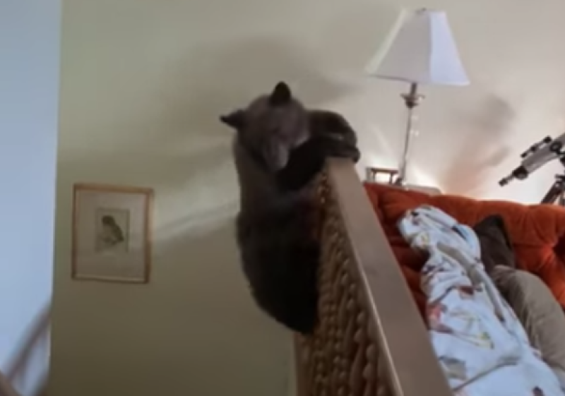 Bear cub parkours down the side of staircase in Lake Tahoe home