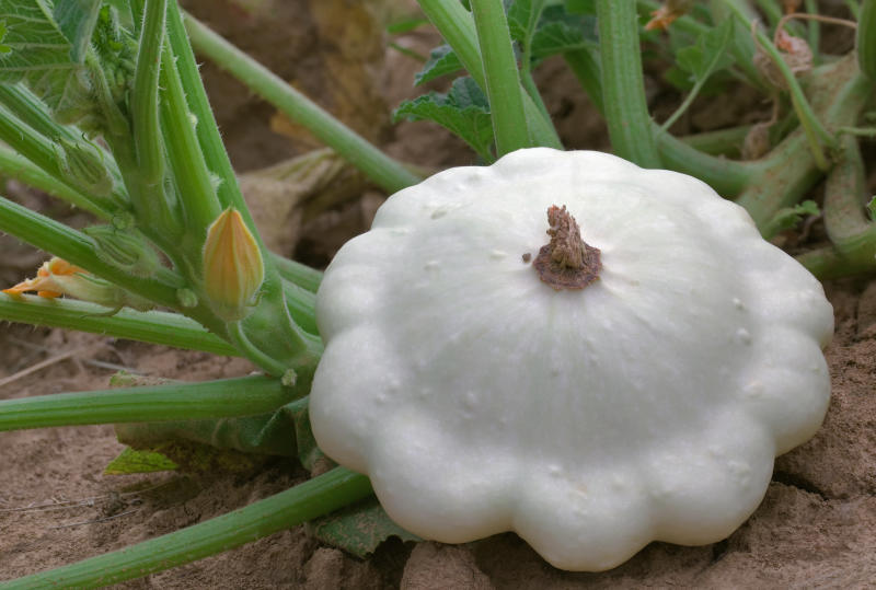 Ripe Pattypan White Squash in the Garden