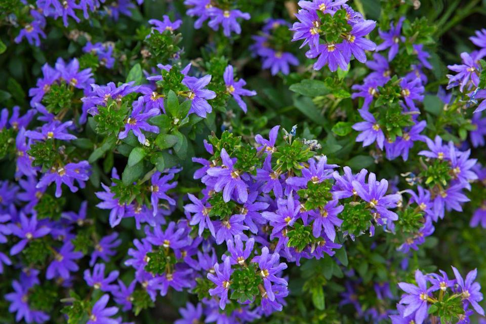 <p>Commonly known as fan flower, the drought-tolerant plant boasts beautiful blue, fan-shaped flowers that look lovely in any hanging basket. And a bonus for lazy gardeners: No deadheading is necessary as it blooms. </p><p><strong>Zones: 10-11</strong></p>