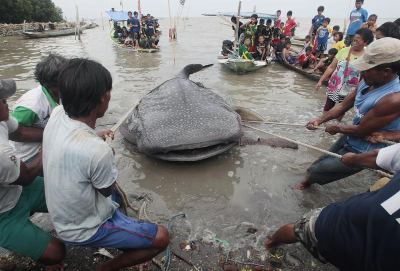 Fishermen try to pull a dead whale shark after it was trapped in a fisherman's net, at Kenjeran beach in Surabaya, East Java province, October 23, 2013. REUTERS/Sigit Pamungkas (INDONESIA - Tags: ENVIRONMENT ANIMALS)