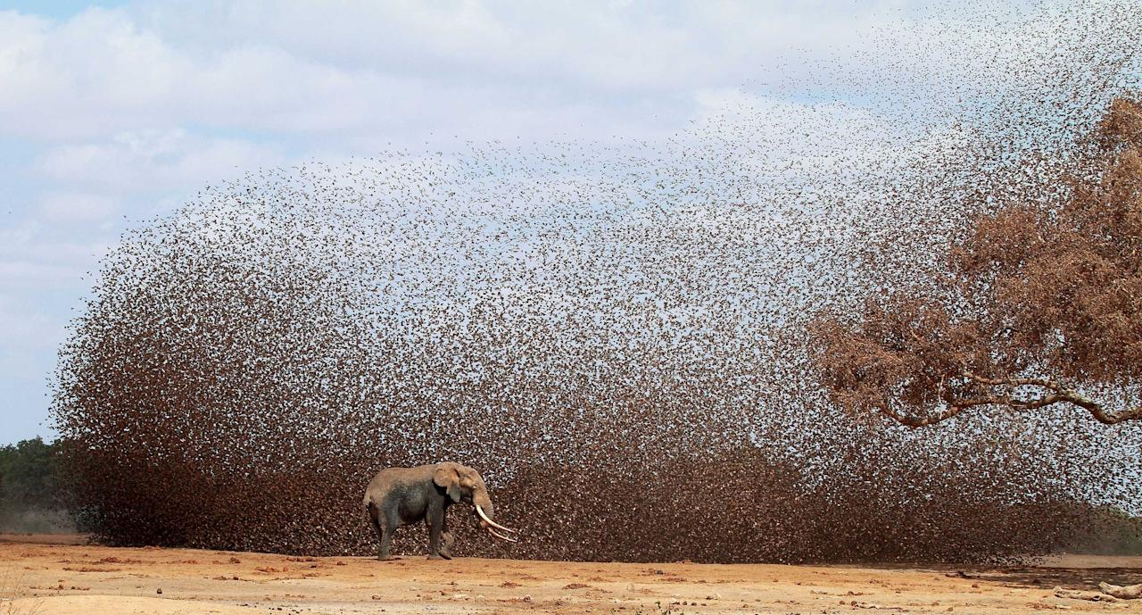 An elephant stands tall as a mass of birds swirl around it (Caters)