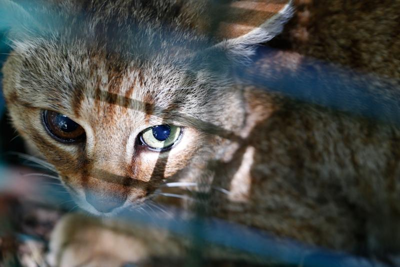 "A picture taken on June 12, 2019 in Asco on the French Mediterranean island of Corsica shows a ""ghjattu-volpe"" (fox-cat) Felis Silvestris. - The Corsican fox-cat is a new specie of feline according to the ONCFS. (Photo by PASCAL POCHARD-CASABIANCA / AFP)PASCAL POCHARD-CASABIANCA/AFP/Getty Images ORG XMIT: 4636 ORIG FILE ID: AFP_1HH37L"