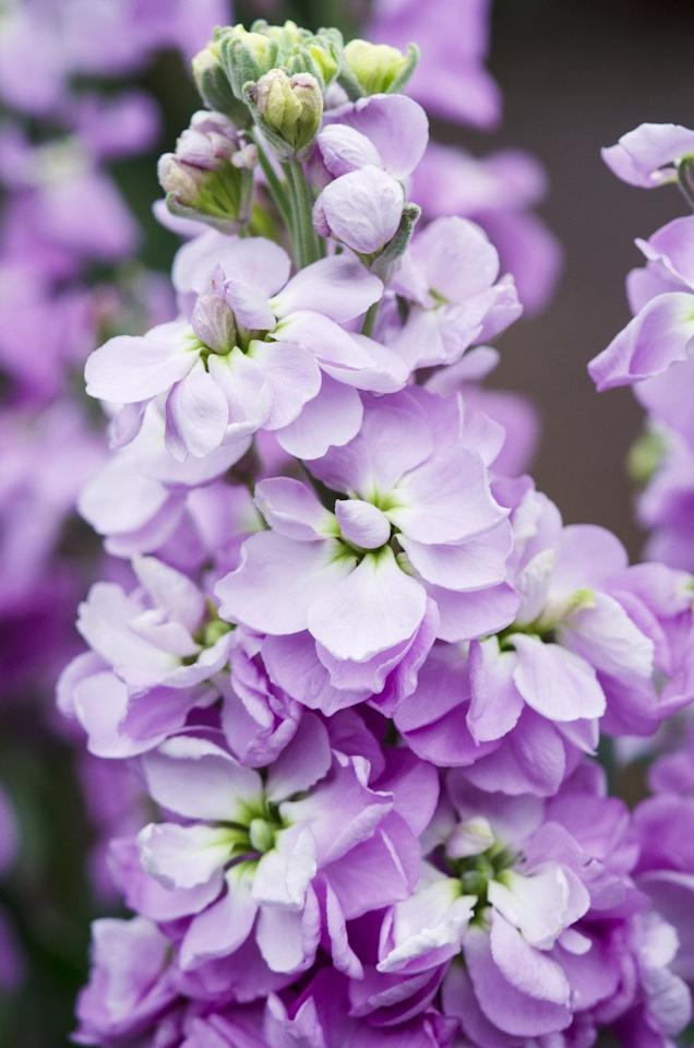 """<p>A very fragrant flower, often called scented stocks for that reason. Stocks are available in a range of colours; from dark pink and red to white and cream.</p><p><a rel=""""nofollow"""" href=""""http://www.waitroseflorist.com/shop-by-type/scented-british-stocks-877341"""">BUY NOW</a></p>"""