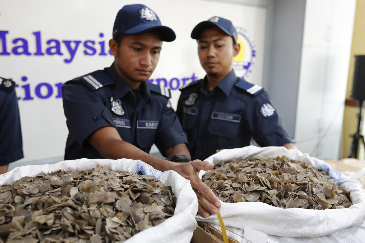 Royal Malaysian Customs (RMC) Department officials show pangolin scales recently seized at Kuala Lumpur International Airport (KLIA), during a press conference in Sepang, Malaysia on Friday, June 16, 2017. Malaysian Customs seized a total of 393.50 kg of pangolin scales from Ghana in 16 boxes worth 5 million Malaysian ringgit. (1.17 million US dollar) (AP Photo/Vincent Thian)