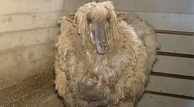 The sheep was badly in need of a haircut. Source: 7 News