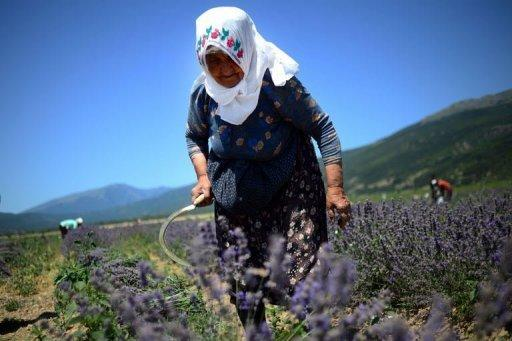 Quality key as Bulgaria snatches France's lavender crown